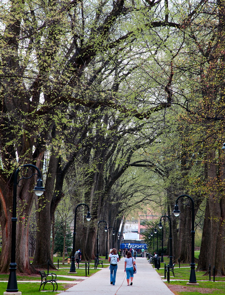 New leaves in early spring on elm trees lining the walkway along Old Main Lawn, Penn State University.
