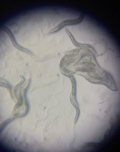C. elegans life stage observations