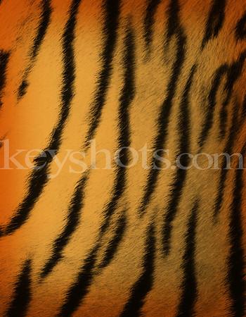 8 5x11 - Tiger