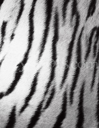 8 5x11 - White Zebra