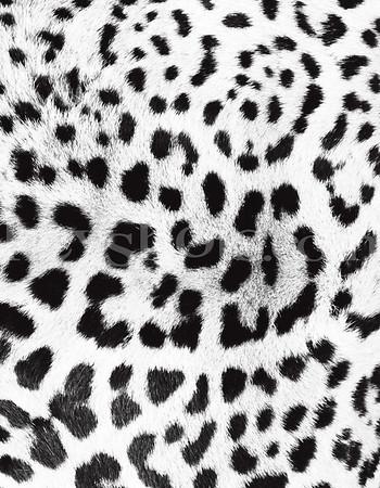 8 5x11 - Snow Leopard