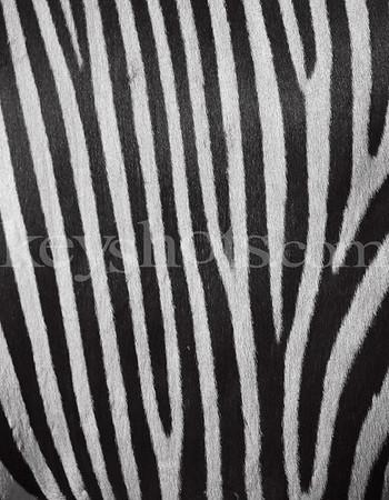 8 5x11 - Zebra
