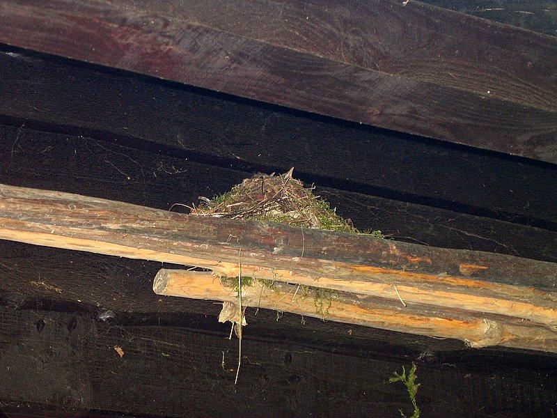 Als je heel goed kijkt, zie je de snaveltjes van de jonge mereltjes boven het nest piepen.