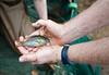 110922526 - Dr. Chris Jones, Freshwater Ecologist and Professor, Department of Environmental Science and Policy, shows a fish collected by Smithsonian-Mason Semester for Conservation Studies program students as they participate in a watershed conservation and management field trip to Gunston Cove at Pohick Bay Regional Park in Virginia. Photo by Alexis Glenn/Creative Services/George Mason University