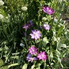 Clemantis in the garden area
