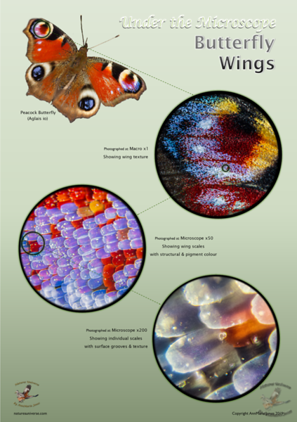 Under the Microscope - Butterfly Wings