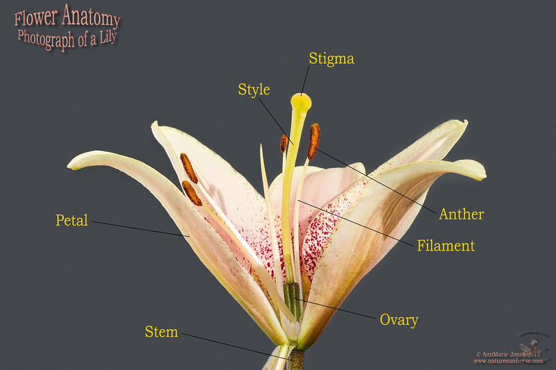 Parts of a Lily Flower