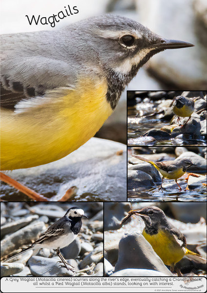 Wagtails Poster