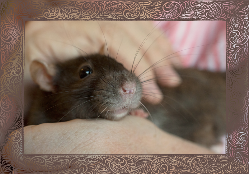 Pemy rat, now nearly 3 years of age, rests comfortably in my hands.