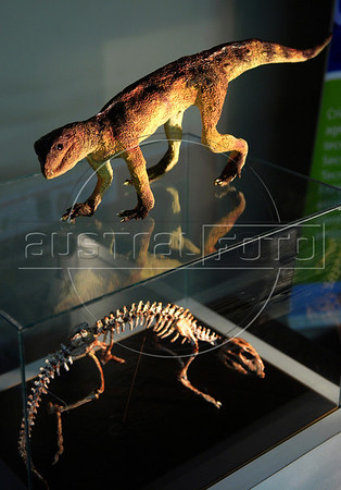 "A replica of ""Adamantinasuchus navae"", a terrestrial crocodylomorph are presented to journalists at Geology department of Rio de Janeiro's Federal University, Rio de Janeiro, Brazil, April. 17, 2007. The fossil was found recently in the construction site of a dam in Marilia, in the state of Sao Paulo. The new species, whose morphology is unique among terrestrail crocodylomorphs, measured 50 cms and weighed 10 Kg. It lived around 90 million years ago in the southeastern region of Brazil. (Austral Foto/Renzo Gostoli)"