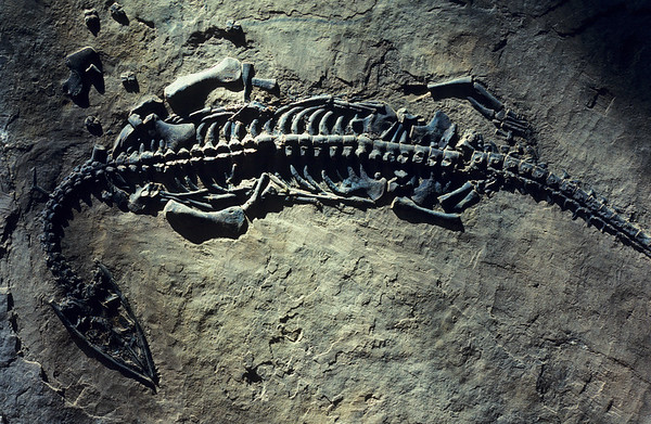 Reptile fossil of the Triassac Period named Pachypleurosaurus found high in the Swiss Alps