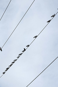 Pigeons on wire Parellel Lines