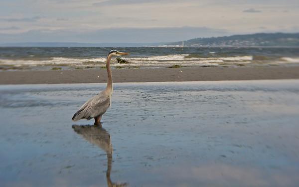Herons fishing in the tide pool. Music: Fishing Blues by Taj Mahal