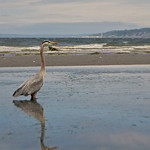 Herons fishing in the tide pool. Music: Fishing Blues by Taj Mahal
