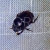 Scarab Beetle - Need ID
