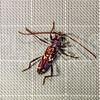 Longhorn Beetle - Need ID
