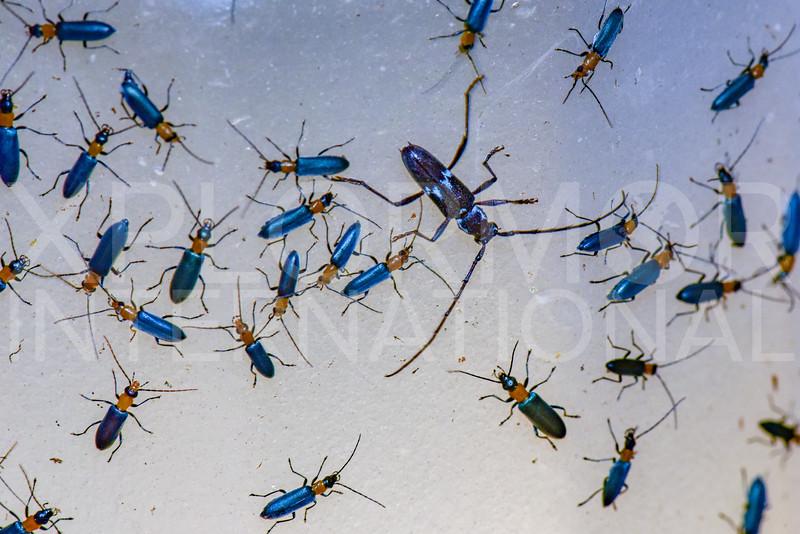 False Blister Beetles (with Longhorn Beetle) - Need ID