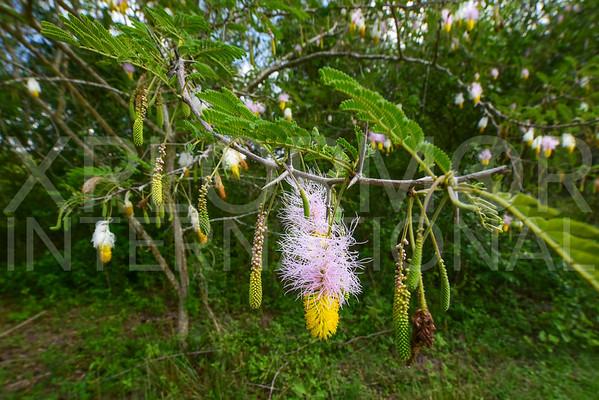 Bell Mimosa Flower