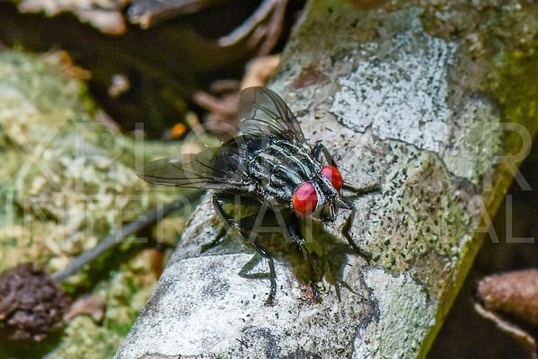 Flesh Fly - Need ID