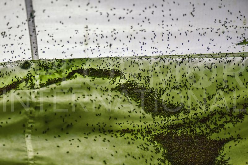 Variegated Mud-loving Beetles