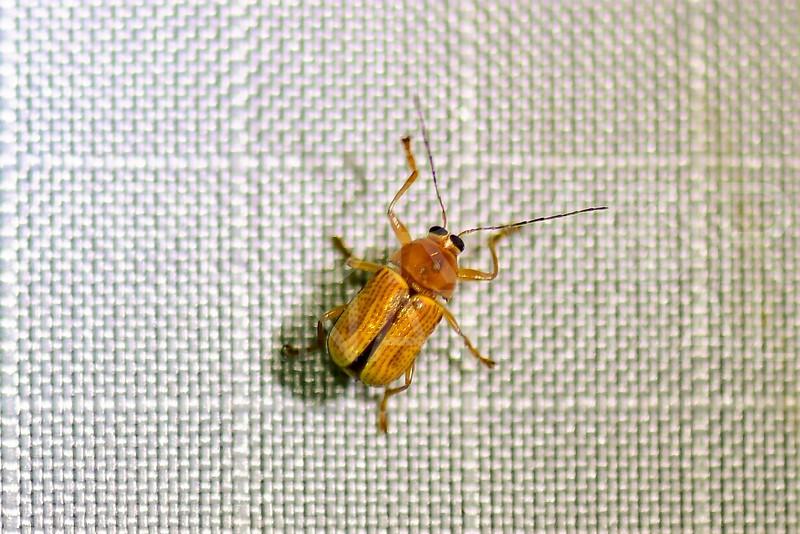 Case-bearing Beetle
