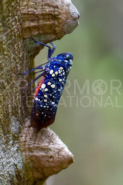Fulgorid Planthopper - Need ID