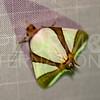Eulepidotis Metamorpha