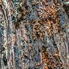 Myrmicine Ants