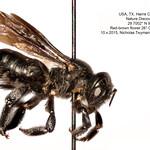 Mason Bee (Osmia montana)