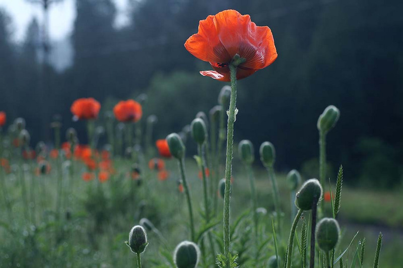 2009-06: Poppies at the Park, Iredell station, Boulder Canyon<br /> Relax