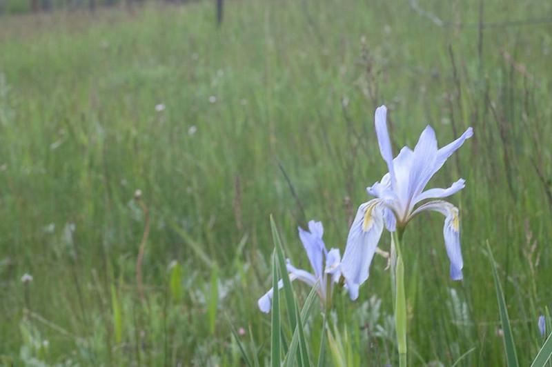 2009-06: Wild Iris
