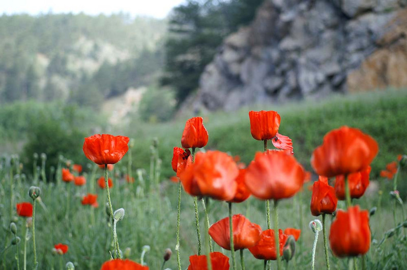 2009-06-21: 3 Poppies at the Park, Iredell station, Boulder Canyon<br /> Switzerland Trail Ride