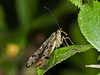 Scorpion Fly (Panorpa sp.). Copyright Peter Drury 2010