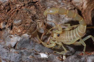 Australobuthus xerolimniorum