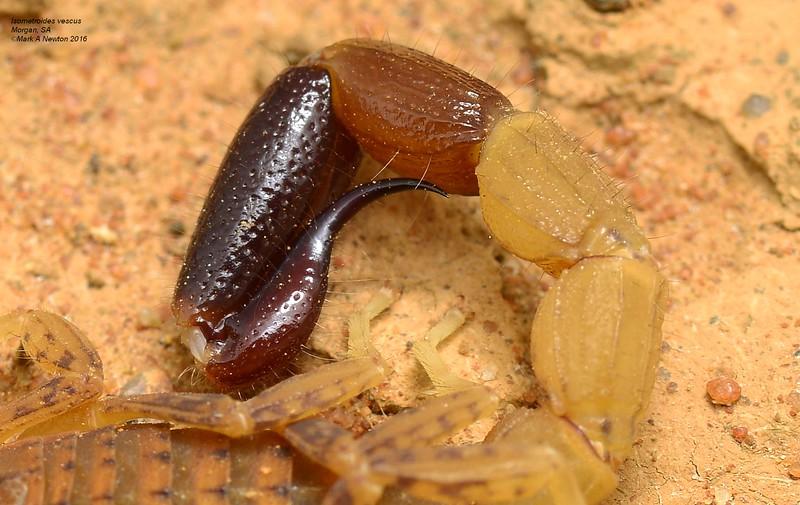 Isometroides vescus   tail