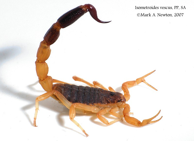 Isometroides vescus