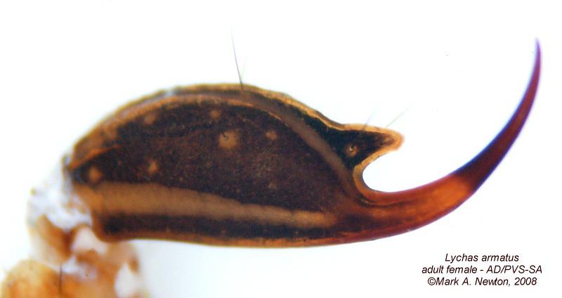 Lychas armatus  -  telson