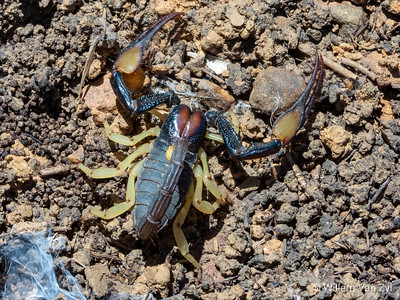 20191220 Namaqua Burrower Scorpion Male (Opistophthalmus pallipes) from Piketberg, Western Cape