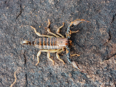 20190406 Radiant Burrower Scorpion (Opistophthalmus carinatus) near Orania, Northern Cape