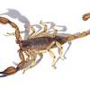 Urodacus elongatus   male
