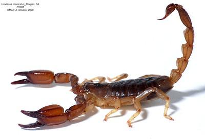 Urodacus manicatus