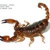 Urodacus manicatus  female