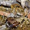 Urodacus novaehollandiae