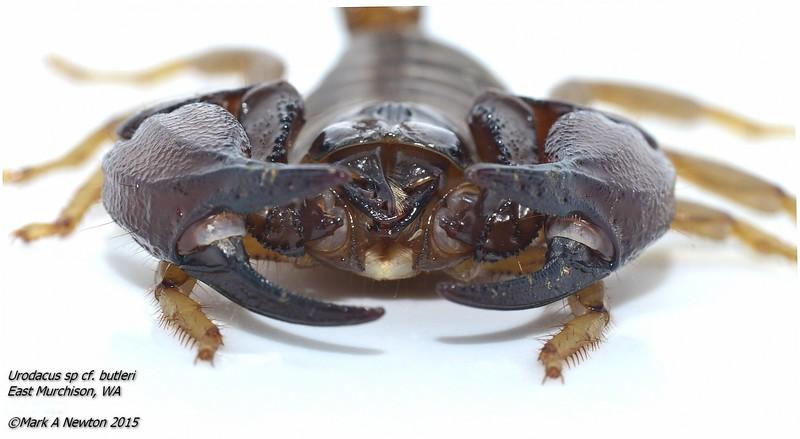 Urodacus sp. cf. butleri