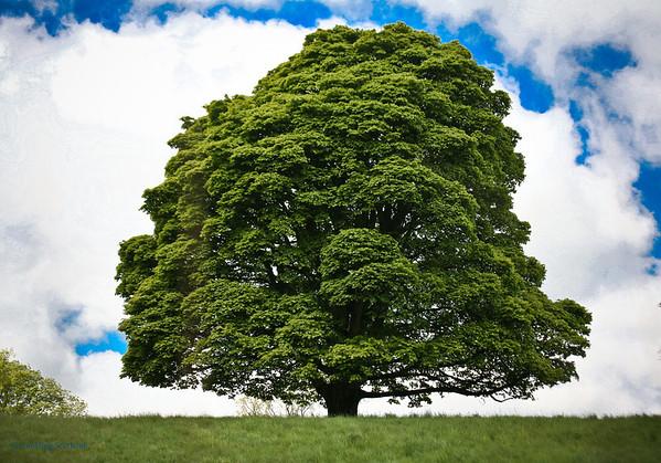 Stunning Oak