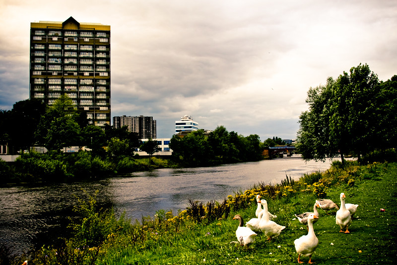 Geese by the Clyde
