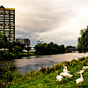 Geese by the Clyde<br /> A safe haven from piping