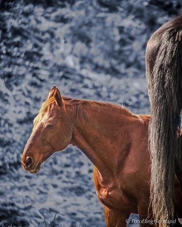 Horses in Moray