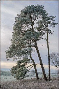 Scots Pines on a cold frosty day