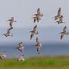 Myrspov (Limosa lapponica), Bar-tailed godwit